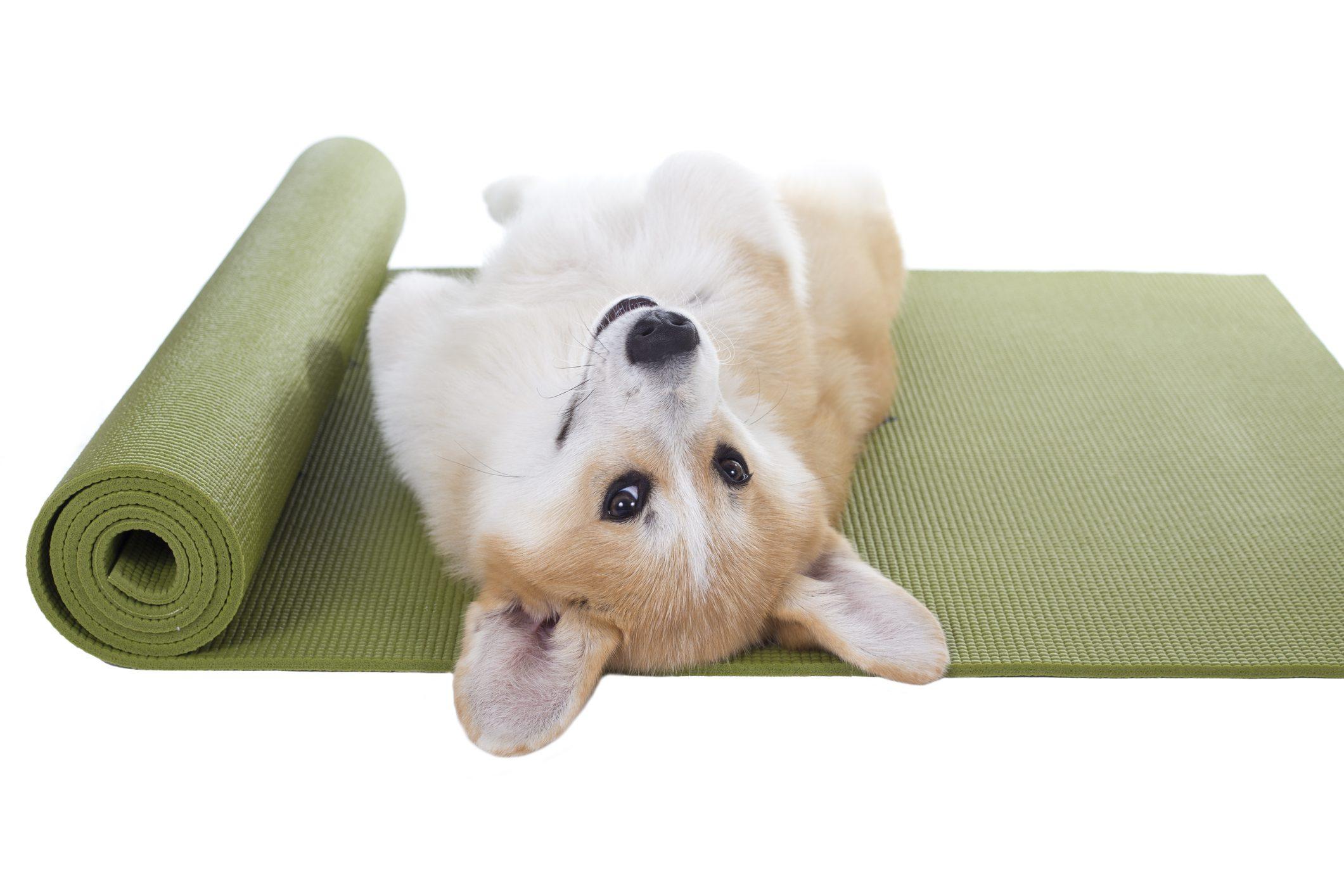 Corgi dog lying on its back on a green yoga mat