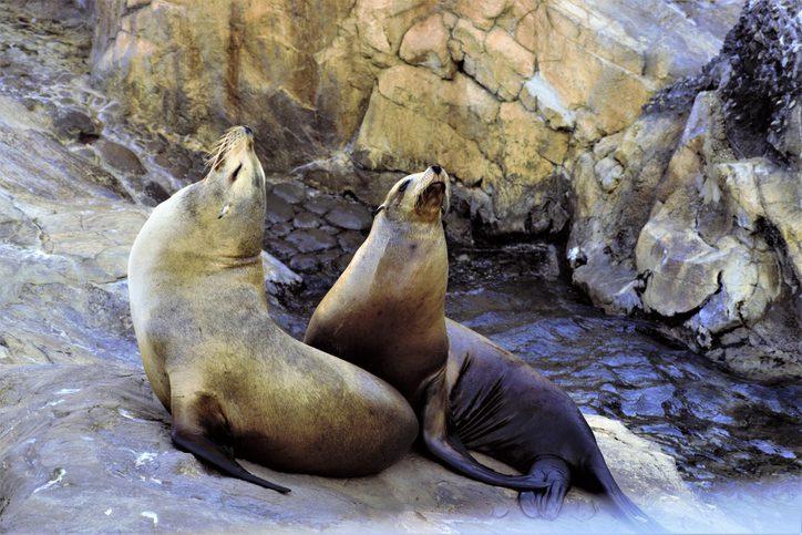 two walrus on rocks, sunning